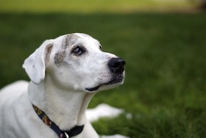 How-to-tell-if-your-dog-is-deaf
